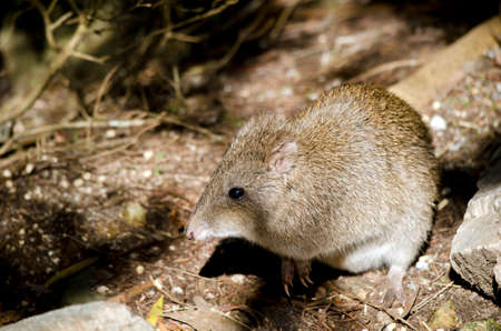 nosed: this is a close up  of a long nosed potoroo