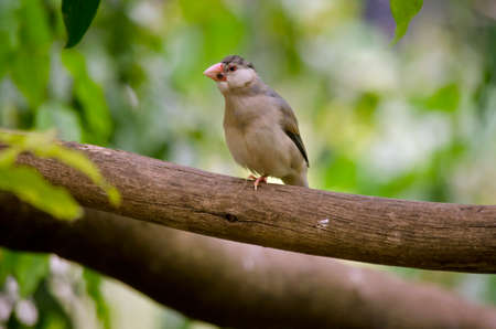 this is a java sparrow on a tree branch