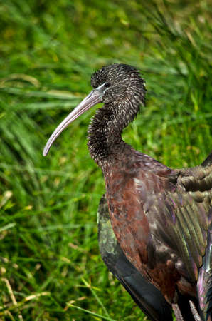 this is a close up of a glossy ibis