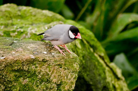 the java sparrow is sitting on a large rock