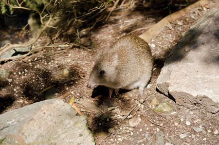 nosed: the long nosed potoroo is hiding in the shadow