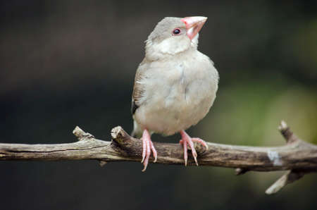 the java sparrow is sitting on a branch Stock Photo