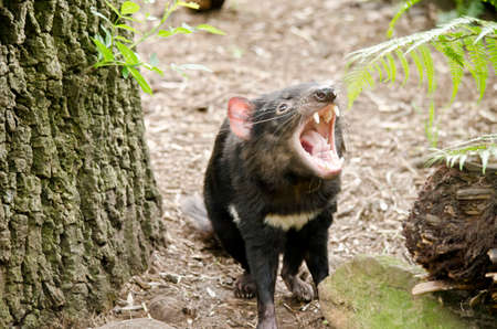 snarling: the Tasmanian Devil is growling and snarling Stock Photo