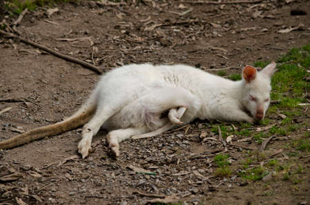 joey: the white albino kangaroo is resting on the grass with her joey in her pouch