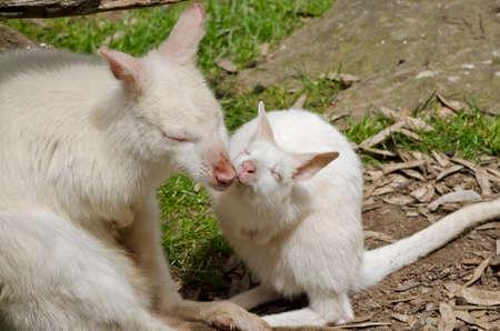 joey: the mother albino kangaroo is kissing her joey