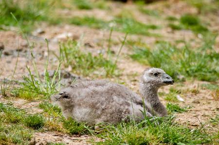 barren: the cape barren goose chick is resting
