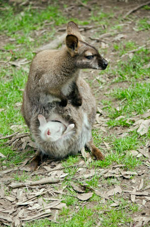 albino: the wallaby has an albino joey in her pouch
