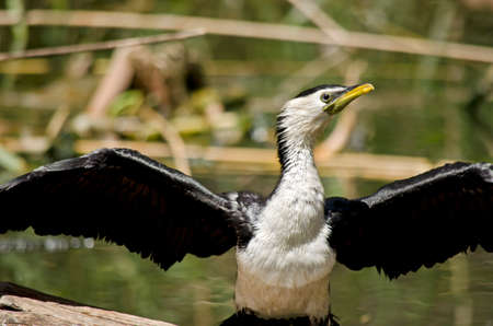 wingspan: this is a close up of a pied cormorant Stock Photo