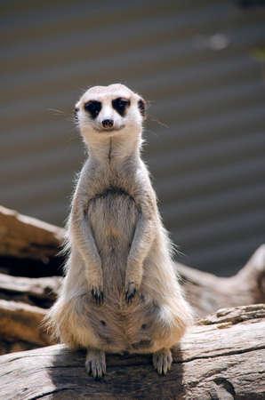 troop: this meerkat is standing guard for his troop
