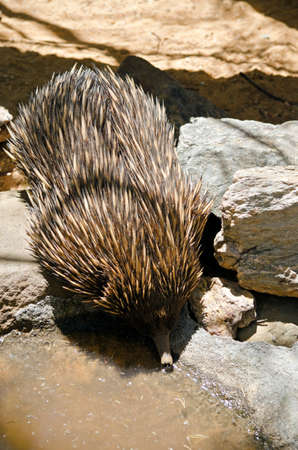 echidna: the echidna is drinking from the edge of a pond