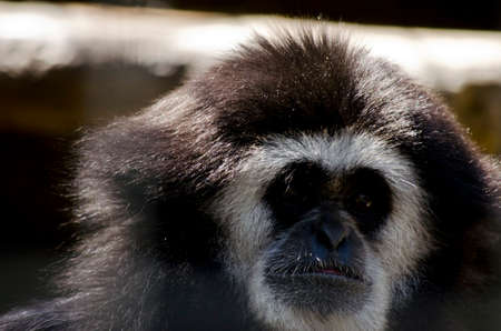 this is a close up of a white handed gibbon