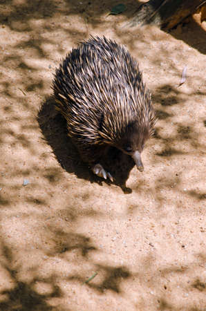 echidna: the echidna is walking in a sandy area