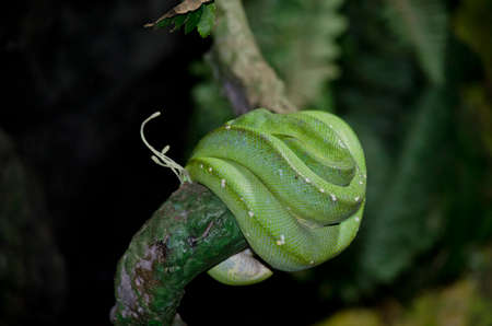 this is a close up of a green tree python Stock Photo