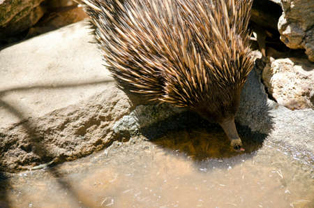 marsupial: the echidna is drinking from the edge of a pond