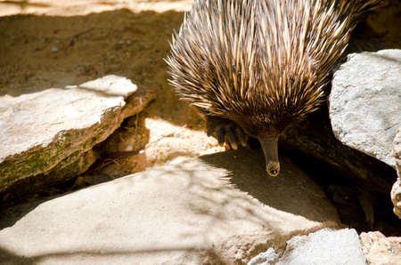 echidna: the echidna is walking on rocks looking for ants