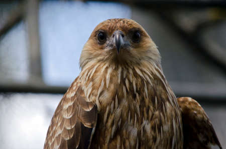 whistling: this is a close up of a whistling kite Stock Photo