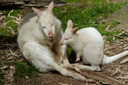 this is a mother and son white albino wallaby