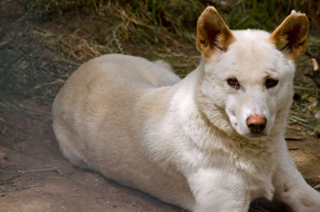 vicious: this dog is a cross breed between a white dingo and a golden dingo he is resting Stock Photo