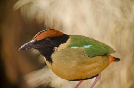 this is a close up of a noisy pitta Stock Photo
