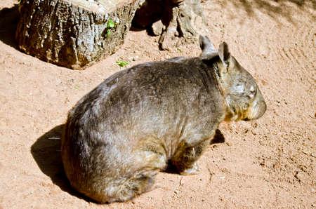el wombat común está descansando en la arena Foto de archivo