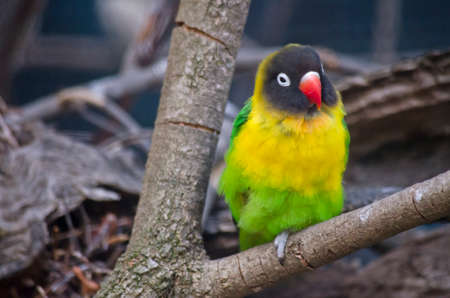 lovebirds: this is a close up of a Masked lovebirds Stock Photo