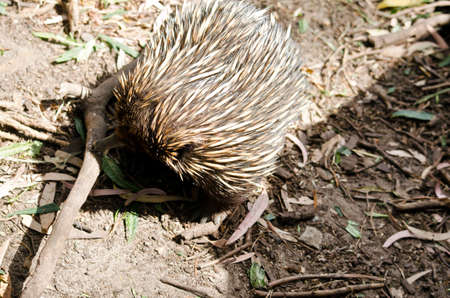 echidna: the echidna is looking for ants in the ground
