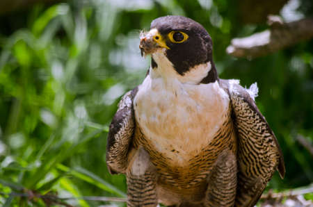 peregrine falcon: this is a close up of a peregrine falcon