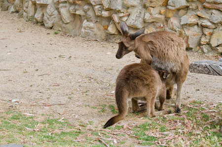 joey: the joey is sticking his head into the pouch to feed