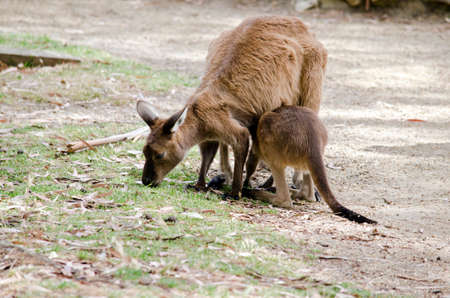 joey: the kangaroo and joey areeating grass in the middle of a field Stock Photo