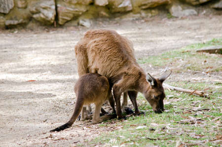 joey: the kangaroo and joey are eating grass in the middle of a field Stock Photo