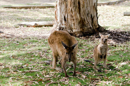 joey: the kangaroo and joey are in the middle of a field Stock Photo