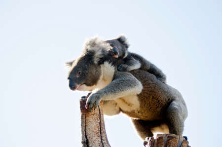 joey: the koala and joey are in the fork of a tree