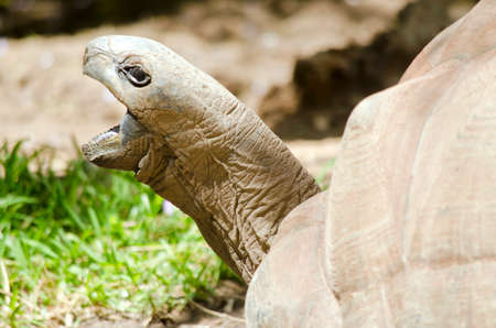 mouth close up: this is a close up of a tortoise with its mouth open