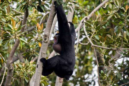 bellowing: the siamang monkey is bellowing to the other monkeys