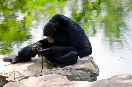siamang: the  siamang is looking at some grass he is holding