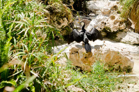 pied: the pied cormorant is drying his wings in the sun