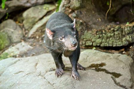 tasmanian: the Tasmanian devil is standing on a rock