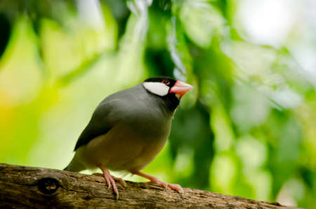 this is a close up of a Java sparrow Stock Photo