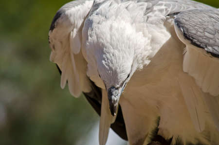 this is a close up of a sea eagle Stock Photo