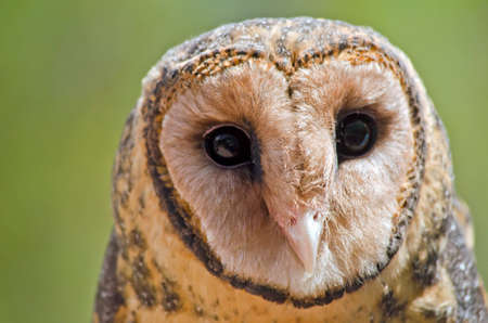this is a close up of a sooty owl Stock Photo