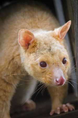 possum: this is a close up of a ring tailed possum