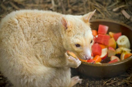 possum: the ring tailed possum is eating fruit salad Stock Photo