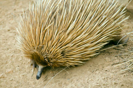 echidna: the echidna is searching for ants in the dirt