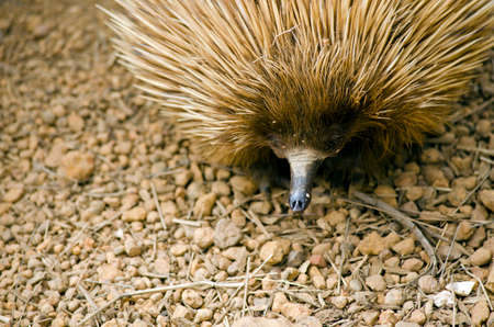echidna: this is a close up of a echidna