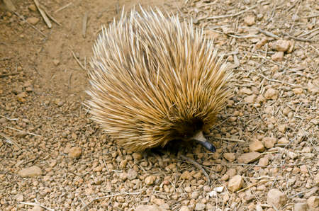 echidna: the echidna is searching for ants