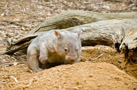 el wombat común está cavando en frente o en su madriguera
