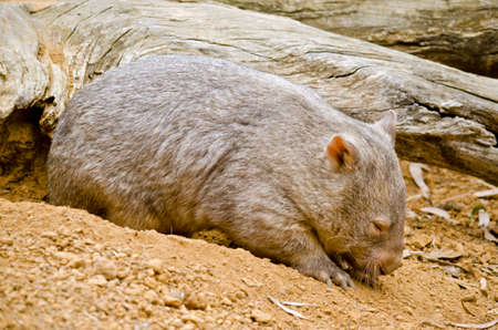 wombat: the common wombat has just emerged from his underground hole