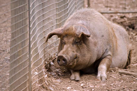 the pig is laying in his pen
