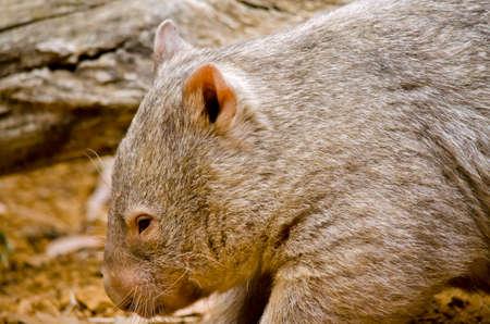 Esto es un cierre para arriba de un wombat común