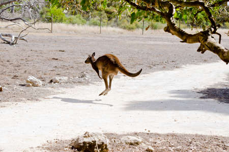 bounding: the Kangaroo-Island kangaroo is bounding away